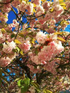 Kirschblütenblätter