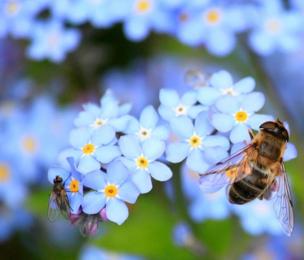 Wildbiene auf Blüten